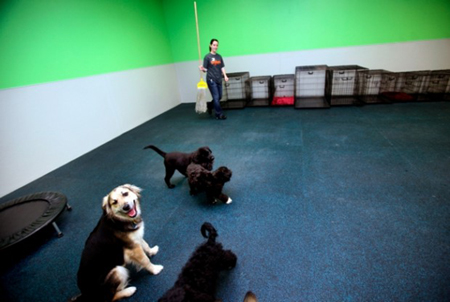 Dogtopia associate Jessica Balthis cleans up as five dogs socialize in one of three playrooms at the Munster business. Nick and Marcia Autry have opened Dogtopia of Munster, a new dog day are, boarding, boutique and spa service. (Photograph by Natalie Battaglia/The Times.)